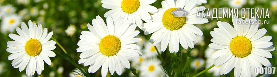 Фото для фартука ромашки